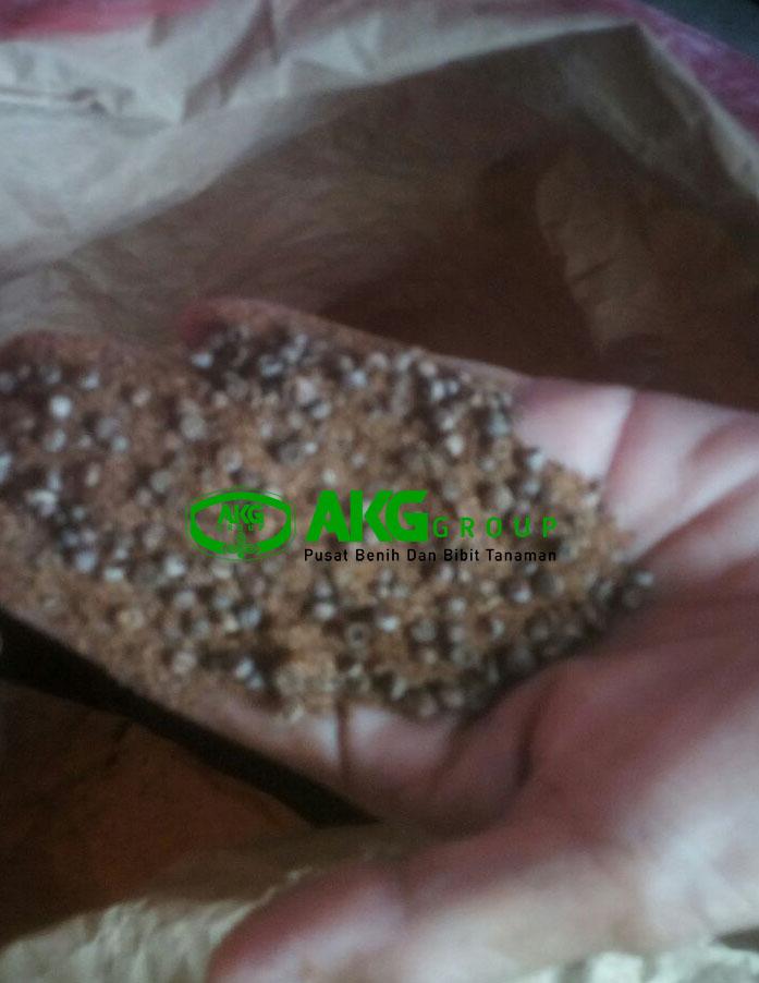 Jual biji kayu putih